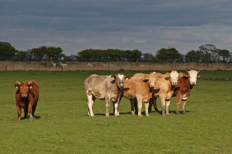 cattle-in-field